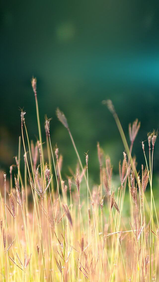 reed-weed-flower-nature-flare-blue-iphone-5