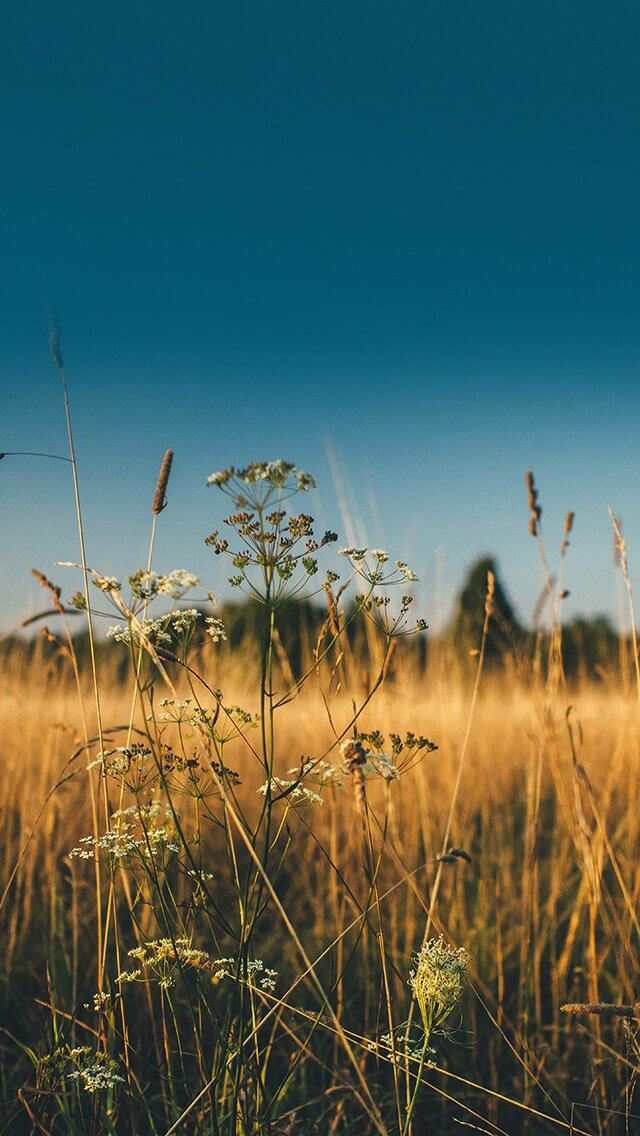 field-nature-flower-reed-sunny-iphone-5