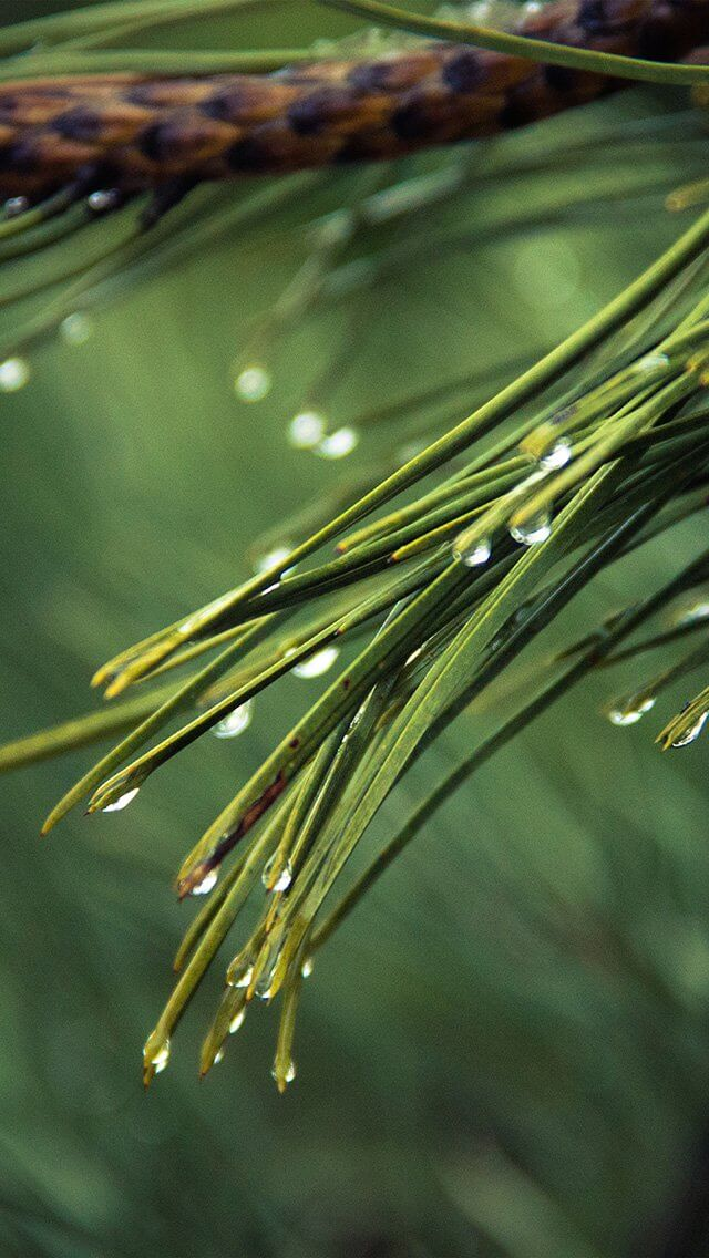 rain-pine-tree-green-nature-mountain-iphone-5