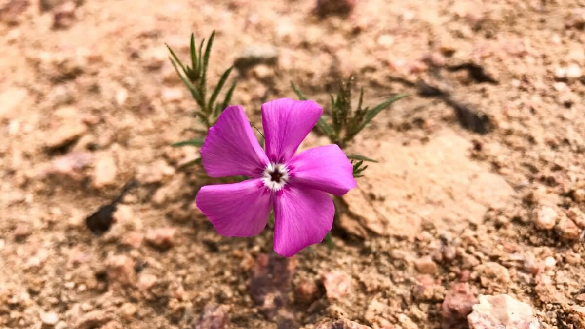 desert_flower_iphone_7