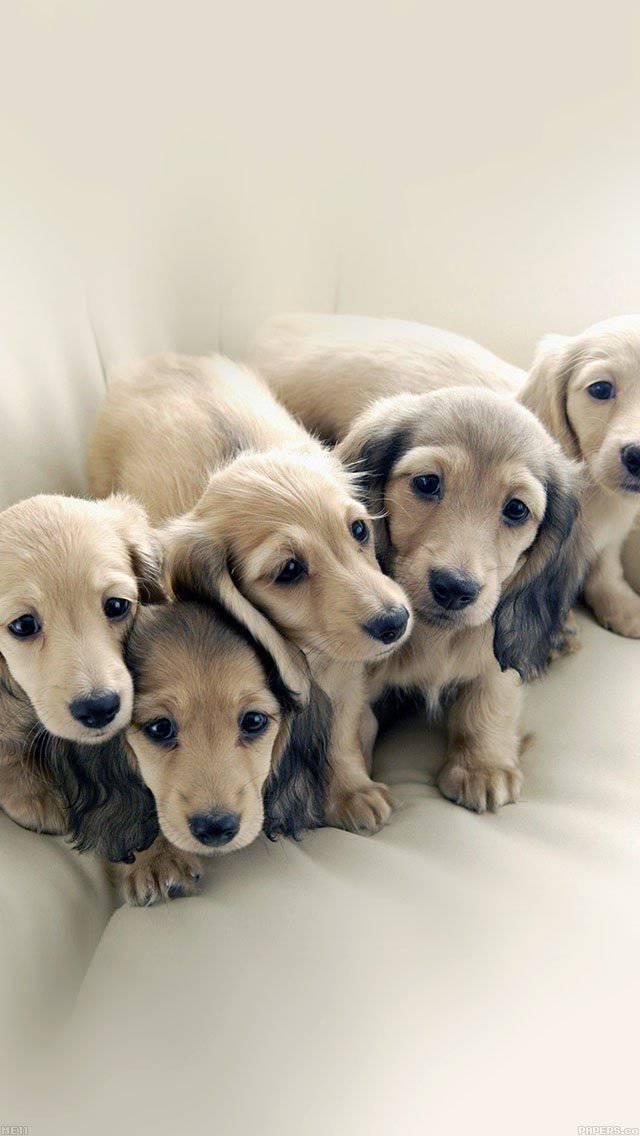 dog-retriever-family-animal-iphone-5